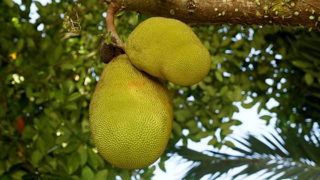 Jackfruit: frutto più grande del mondo