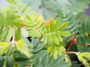 Mimosa Pudica memoria