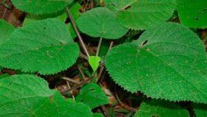 Dendrocnide Moroides: la pianta del dolore