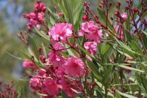 Piante velenose: Oleandro