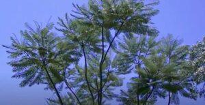 Guapuruvu: albero più veloce del mondo