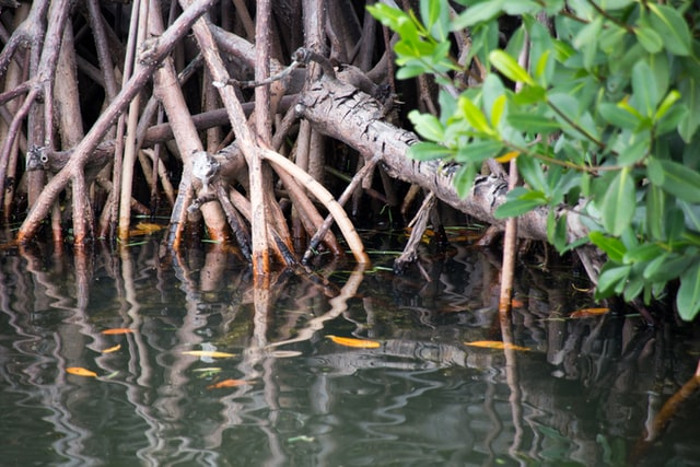 Mangrovie acqua salata