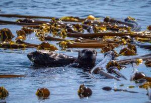 Lontre kelp