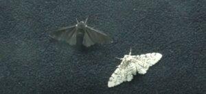 Biston Betularia: farfalla notturna